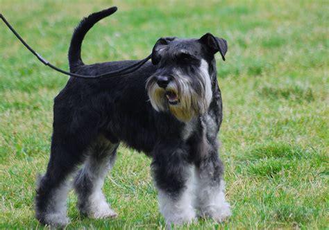 schnauzer dogs file miniature schnauzer r 06 jpg wikimedia commons