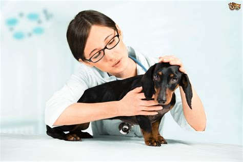 pulmonary edema in dogs what is pulmonary edema in dogs pets4homes