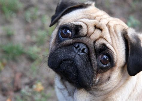 what is the span of a pug a picture of a pug on animal picture society