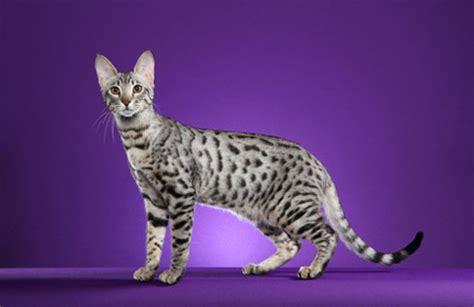 Serengeti Cat Info, Temperament, Care, Training, Pictures