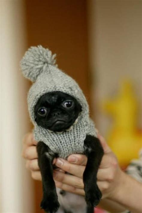 small black pug best 25 black pug puppies ideas on