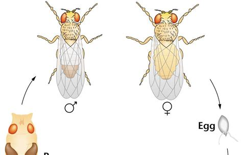 fruit fly cycle fruity fries cycle of a drosophila