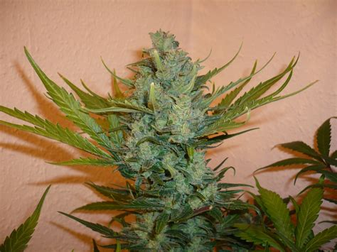 northern lights 5 x haze feminised seeds sensi seeds strain gallery northern lights 5 x haze sensi seeds