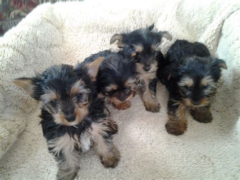 yorkie dogs for sale uk pedigree terriers puppies for sale bridgwater somerset pets4homes