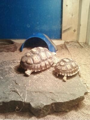 my keeps coughing my year sulcata tortoise keeps coughing