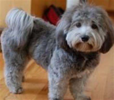 havanese haircut styles 1000 ideas about havanese grooming on