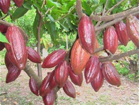 Bibit Tanaman Buah Kesemek Dan Pir Coklat muhammad misbakhul ulum 187 pemuliaan tanaman