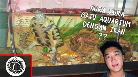 Seprai Kura Kura 1 fried kura kura 1 akuarium dengan ikan