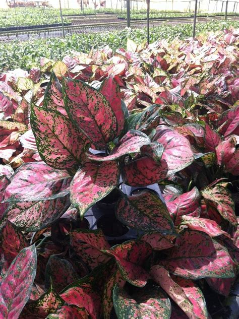 Ruby Aglonema 17 best images about plants houseplants tropicals on