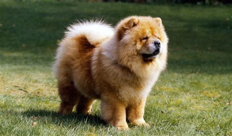 chow chow breed chow chow breed information