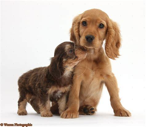 spaniel puppies cocker spaniel puppies golden