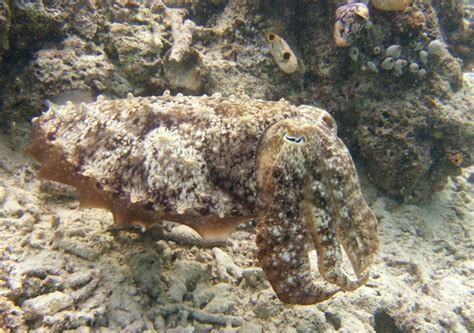 Secrets Of The 'Chameleon Of The Sea:' Cuttlefish's ...