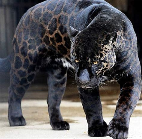 all black jaguar jaguar fiercest cat of the americas animal pictures