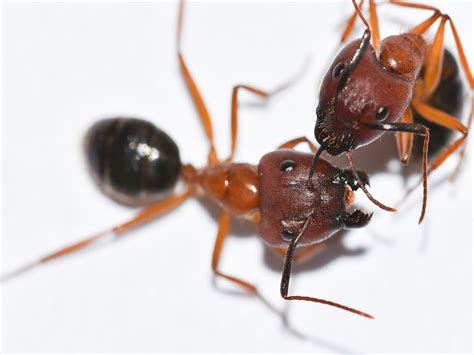 how to get rid of black carpenter ants in your home