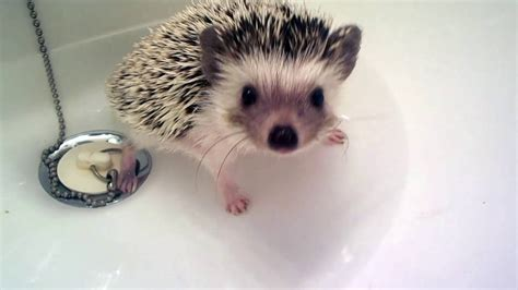 hedgehog bathtub baby hedgehog takes bath youtube