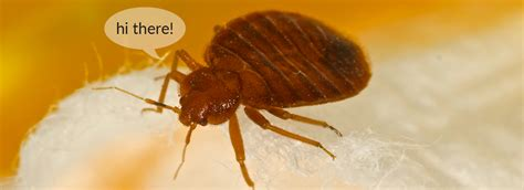 what do bed bugs smell like what are bed bugs bon voyage bed bugs