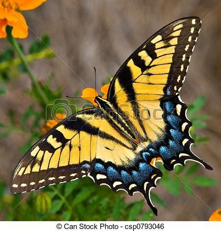 tigre y mariposa imagenes stock de imagenes de tigre mariposa swallowtail un