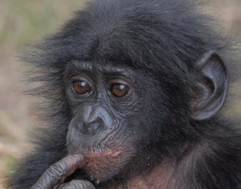 picture 2 of 11 bonobo pan paniscus pictures amp images