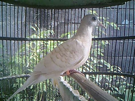 Cucak Jenggot Jawa Muda 10 jenis burung kicau terbaik indonesia hari hari indah