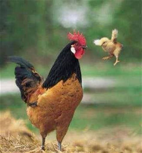the curious duckling learns the rooster s secret books roosters fly baby and ninjas on
