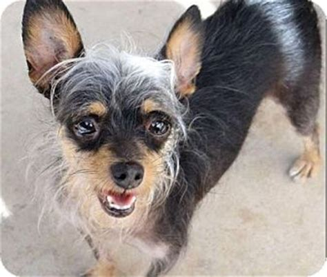 crested yorkie corona ca yorkie terrier crested mix meet boghi a for adoption