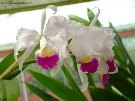 imagenes de flores japonesas orqu 237 dea cattleya la flor nacional de colombia 193 rboles