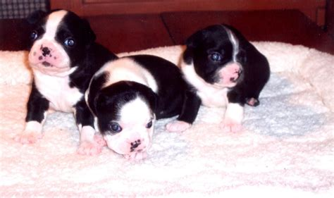 boston terrier puppies boston terrier puppies pictures puppies breed