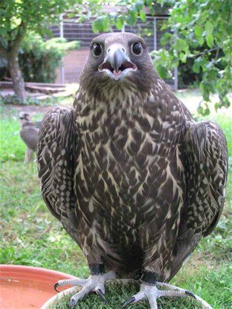 sell gyr falcon birds for sale