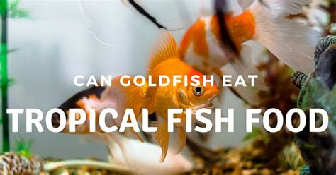 can dogs eat goldfish can goldfish eat tropical fish food what you need to