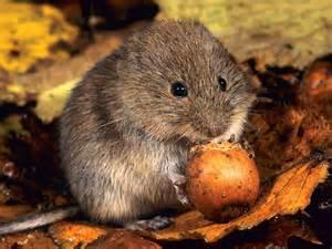 garden rodents types how to spot bank voles in your garden saga