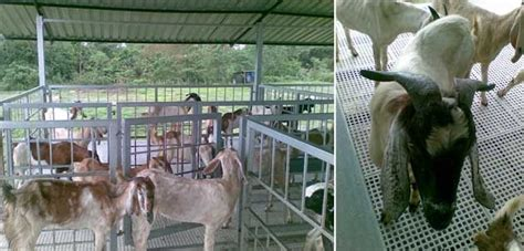 Kandang Acrylic kambing jamnapari kandang kambing besi plastik