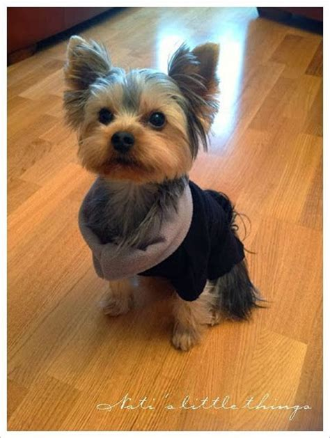 yorkshire terrier haircuts instructions 17 best images about yorkie love on pinterest