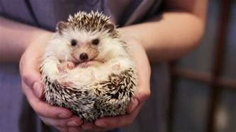 Owning a pet hedgehog facts updated youtube