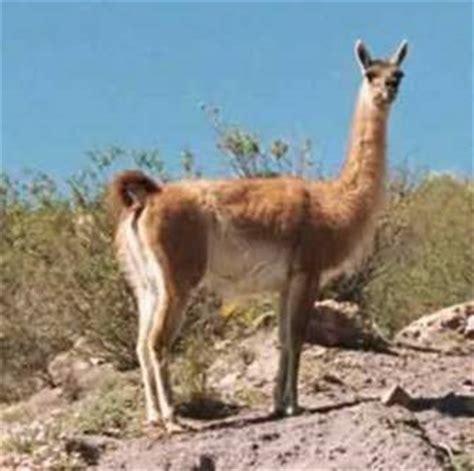 imagenes de animales nativos del peru fauna del per 250 p 225 gina 3 monografias com