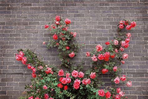 how to prune climbing roses garden reader s digest