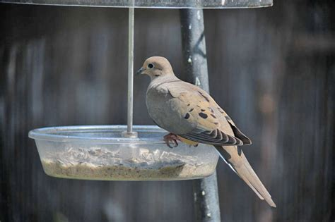 type of bird seed for doves