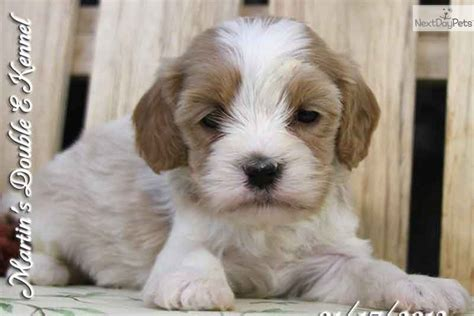 cavanese puppies cavanese puppy for sale near williamsport pennsylvania 67dad917 8591