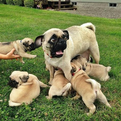 are pugs family dogs 15 of the cutest pug puppies to brighten your day 15 pictures
