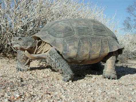 Tortoise L by Desert Tortoise Info And Photos The Wildlife