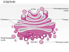 0714 golgi body medical images for powerpoint powerpoint