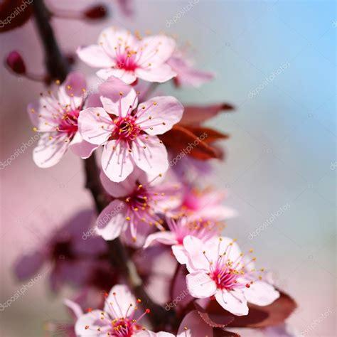 Imagenes Flores De Cerezo | flor de cerezo sakura en primavera hermosas flores de