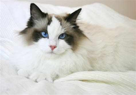 12 Ragdoll cat facts for the ultimate cat lover: Big kitty