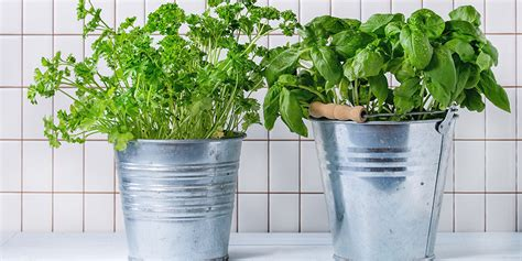 growing herbs inside how to grow herbs indoors bunnings warehouse