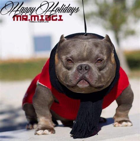 mr miagi bully puppies for sale thebullycline mr miagi
