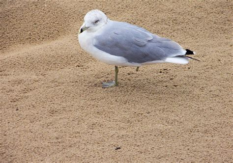 one legged seagull free stock photo public domain pictures