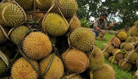 Biji Durian Candimulyo kung durian di lereng merbabu travel trip tempo co
