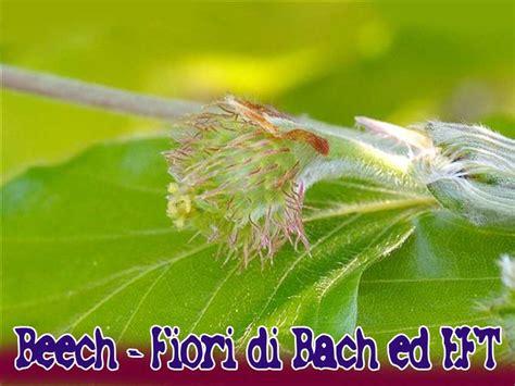 fiori di bach beech beech fiori di bach eft