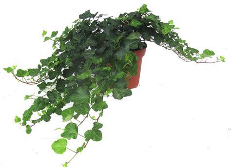 Ist Efeu Winterhart by Hedera Helix Efeu Pflanzen Versand F 252 R Die