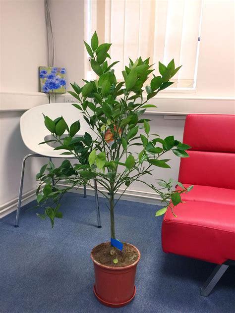 alberi da frutta in vaso alberi da frutta in vaso trendy nuova esposizione per le