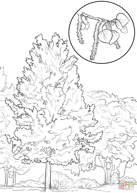 aspen tree drawings aspen tree coloring page free printable coloring pages